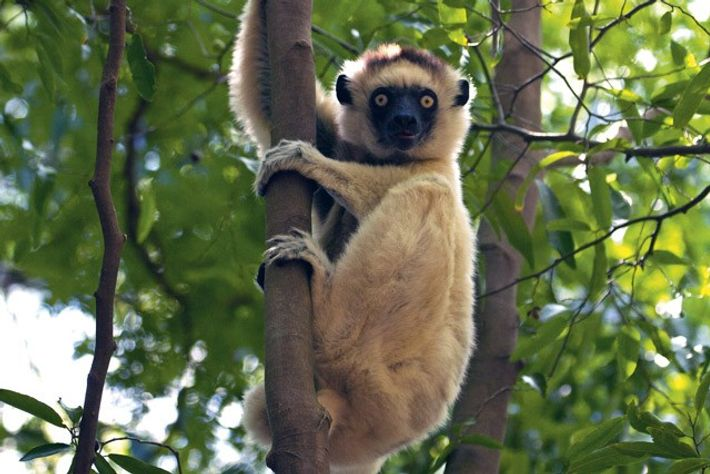Verreaux's sifaka in the southeastern Androy. Image: Emma Gregg