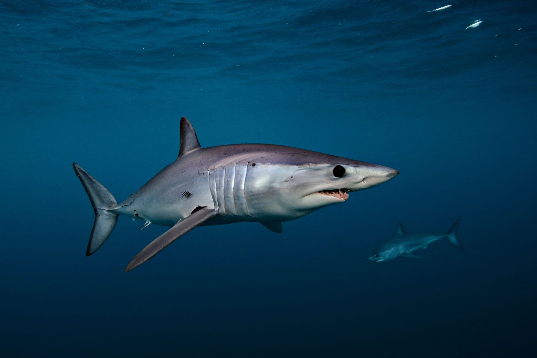 Mako sharks get new protections | National Geographic