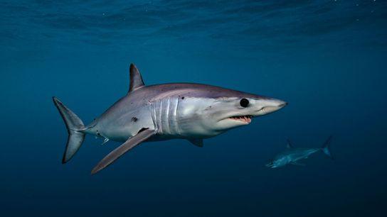 A shortfin mako shark swims off the west coast of New Zealand's North Island.