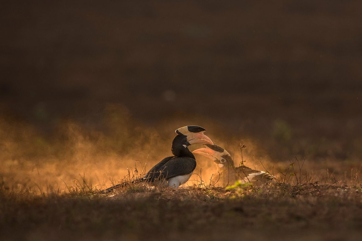 Malabar Pied Hornbills bathe in the fine dust regularly in the summers. They do this every ...