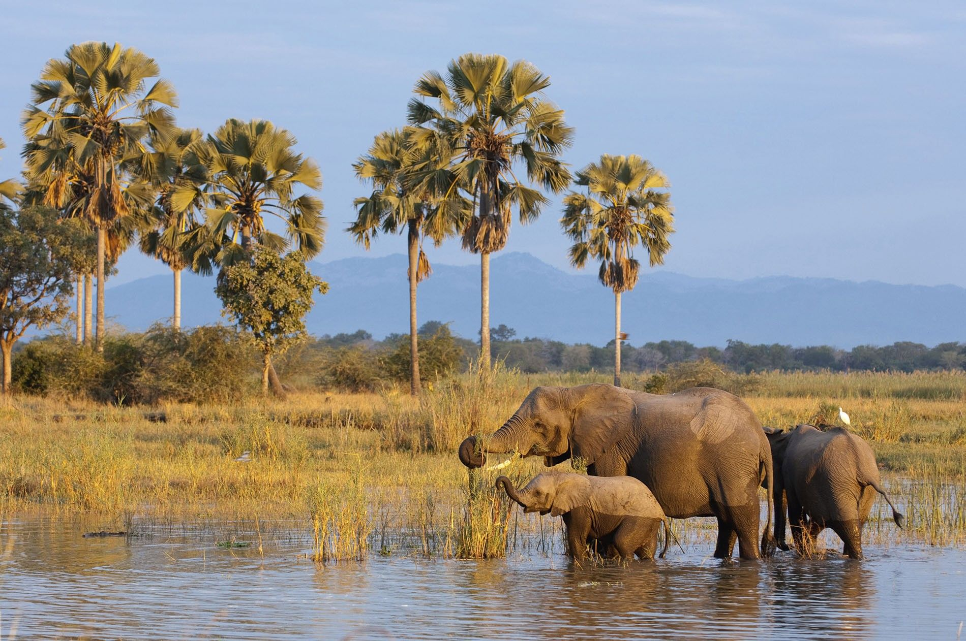 Elephants in the Shire River, Liwonde National Park.