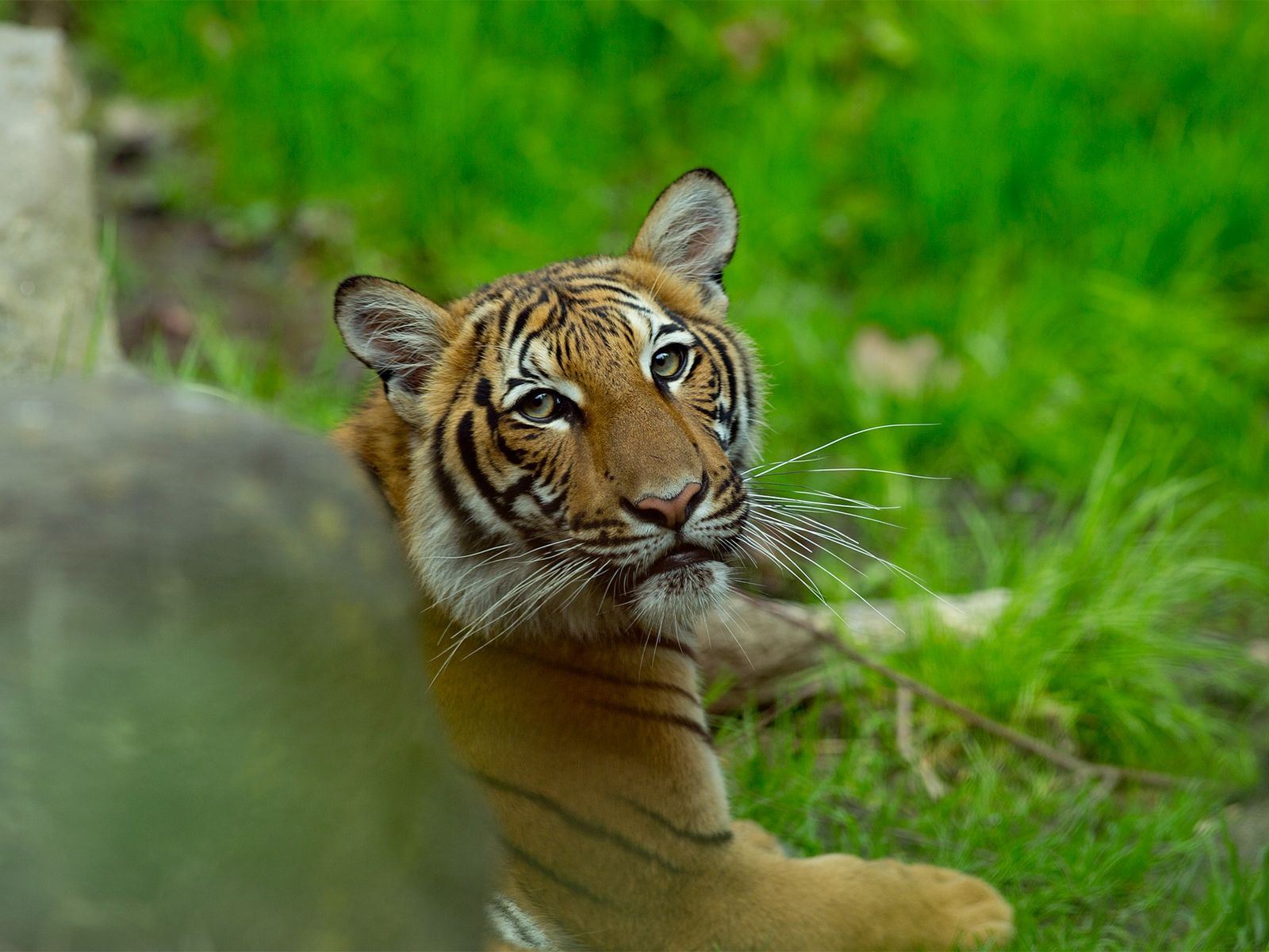 A Malayan tiger at the Bronx Zoo, photographed in 2017. In a first, one of the ...