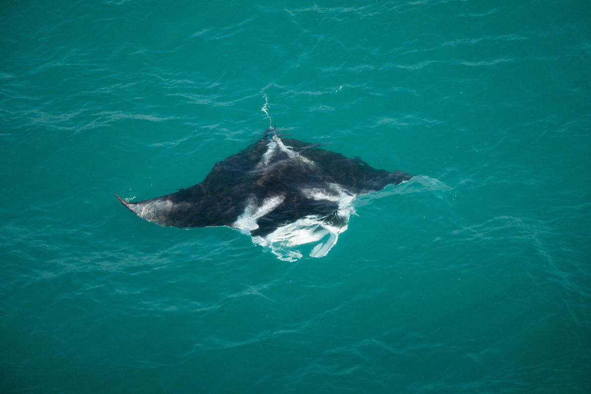 A large manta ray, nearly 10 feet wide, swims off the coast of the Tiwi Islands ...