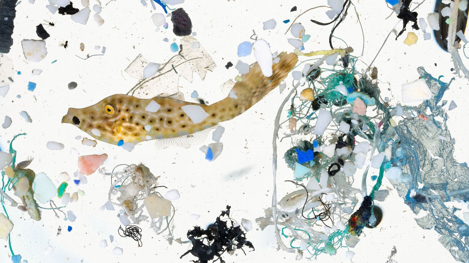 Marine life, like this filefish, and tiny bits of plastic were collected in a sample of ...