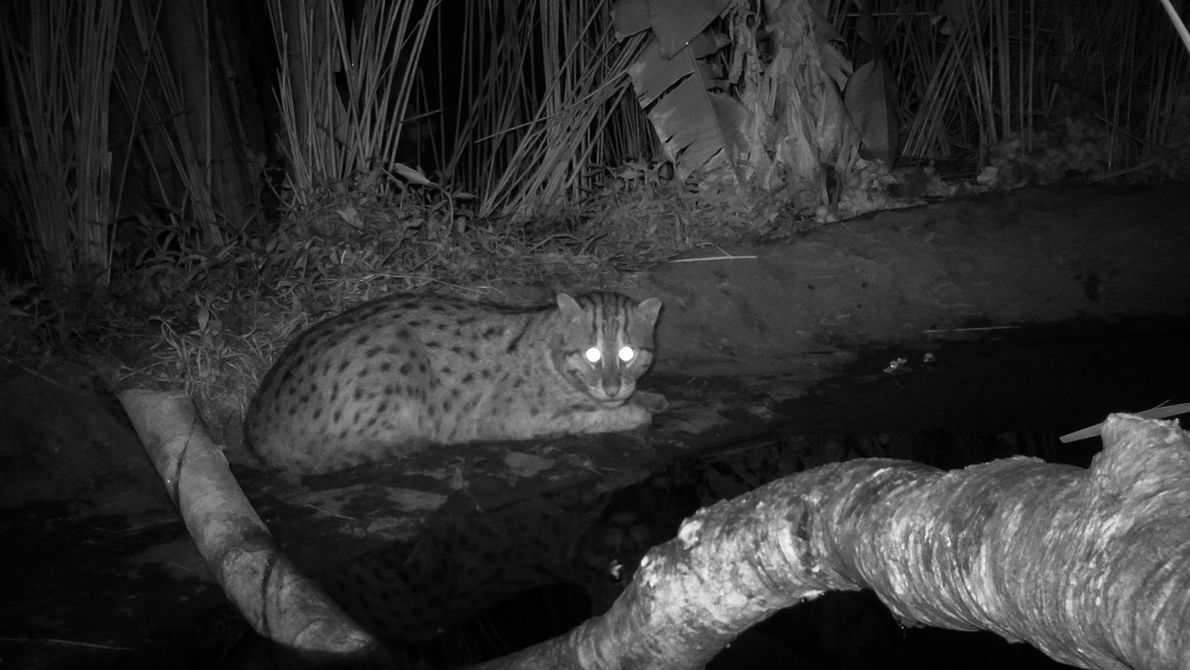 At night in Deulpur, the fishing cat emerges out of hiding. Backyard fish ponds are a ...