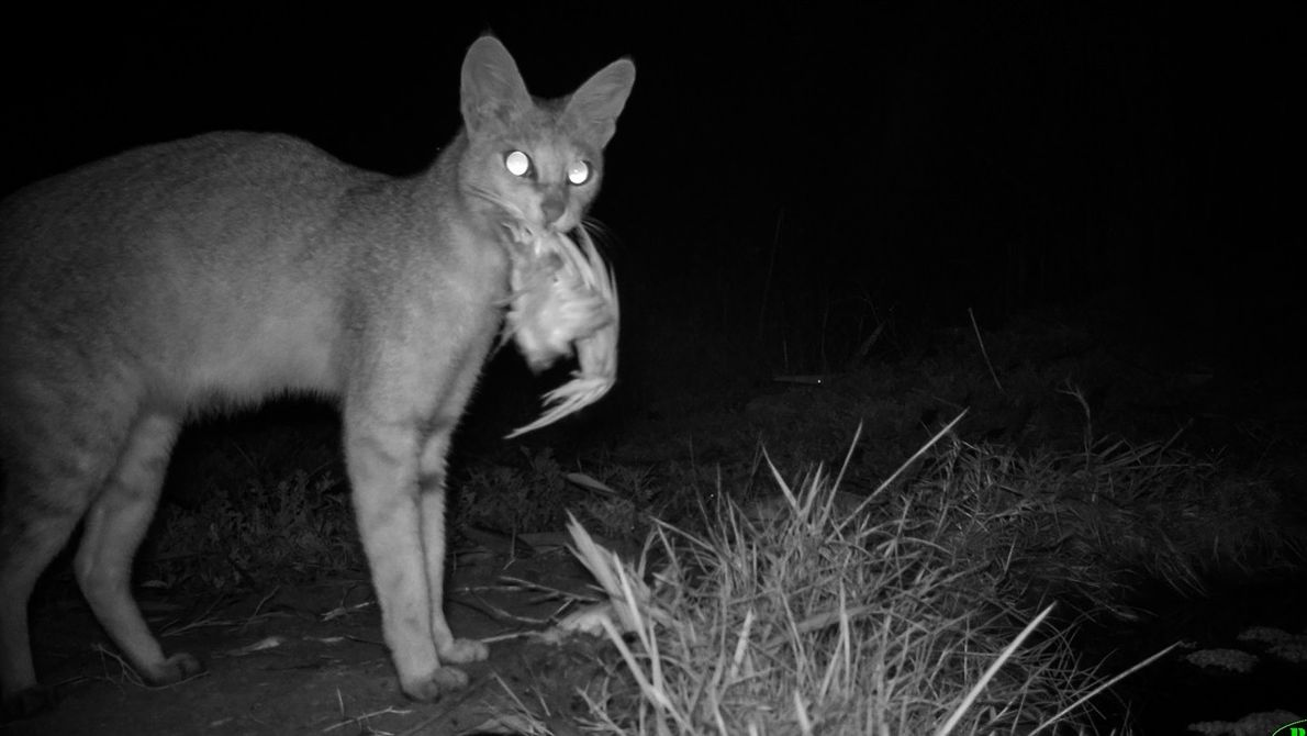 The jungle cat is a slender, medium-sized cat which – despite its name – isn't found ...