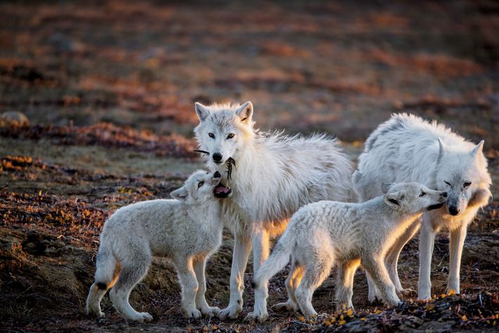 A pup bites at a feather while another nuzzles the pack's aging matriarch, White Scarf (far ...