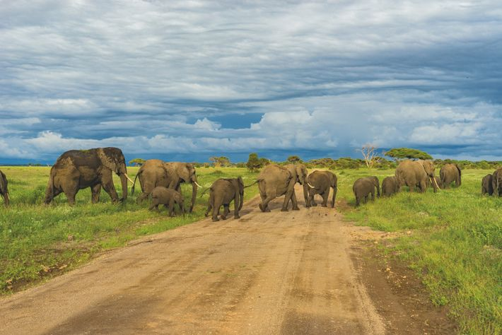 Elephants can detect the tremors and vibrations of the rest of the herd from a distance ...