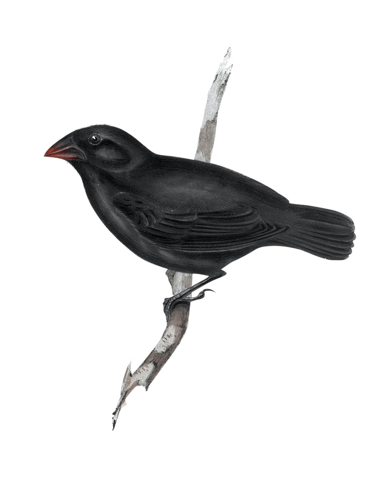 Medium ground finch (Geospiza fortis) observed in the Galápagos.