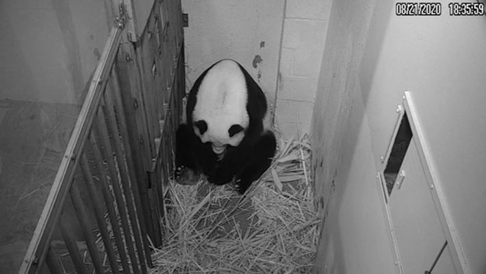 Mei Xiang gives birth to her cub at the National Zoo. For the first few weeks ...