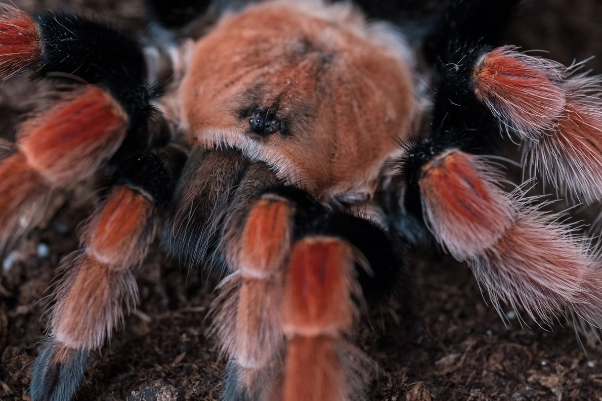 The Illegal Market for Tarantulas is Hairy Business