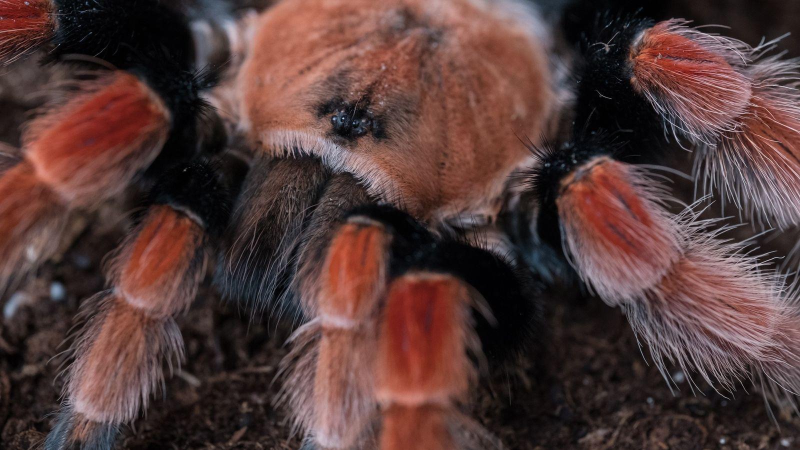 A captive-bred Mexican fireleg tarantula is seen up close outside Tarantulas of Mexico, a breeding facility ...