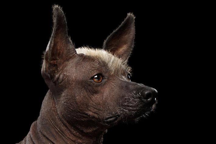 The xoloitzcuintli was nearly eaten into extinction by hungry Spanish settlers.