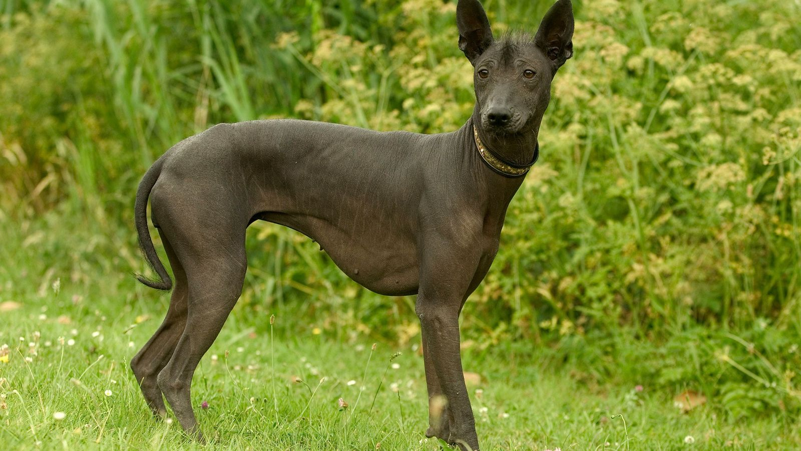 The xoloitzcuintli gets its mouthful of a name from two words in the language of the ...