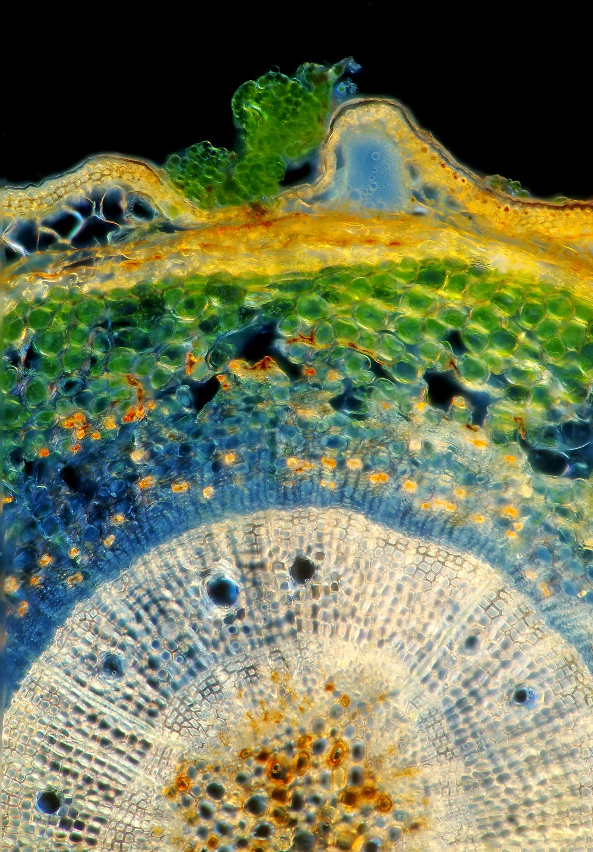 Green algae speckle the outer surface of a larch ('Larix') stalk, seen here in cross section. ...