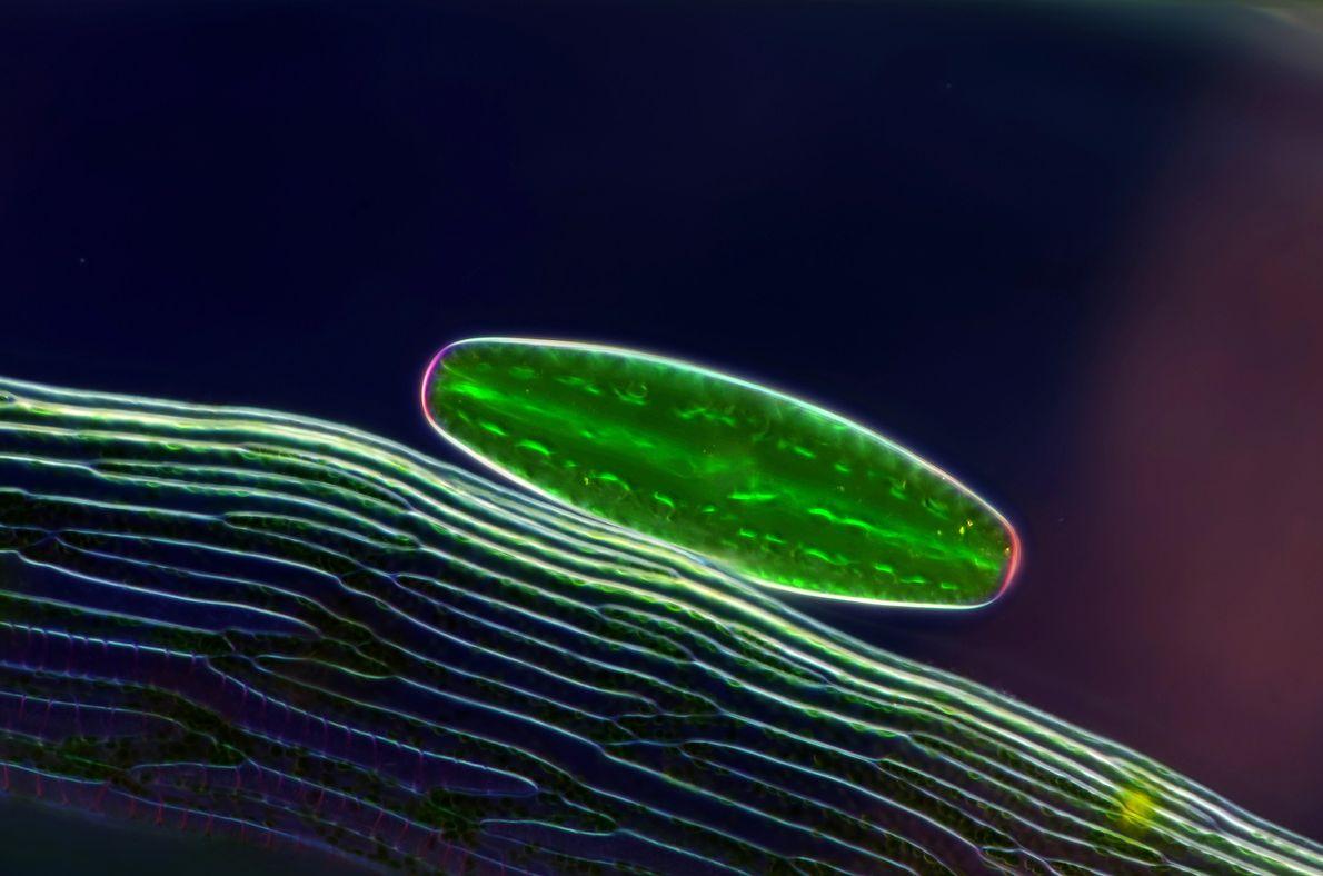 Glinting in polarised light, a single-celled 'Netrium alga' gleams near the leaf of a sphagnum moss.