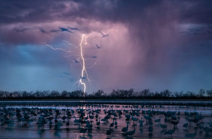 As an evening storm lights up the sky near Wood River, Nebraska, about 413,000 sandhill cranes ...