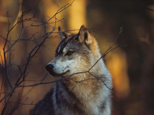 A third of Wisconsin's wolves killed after losing protections this year, study says