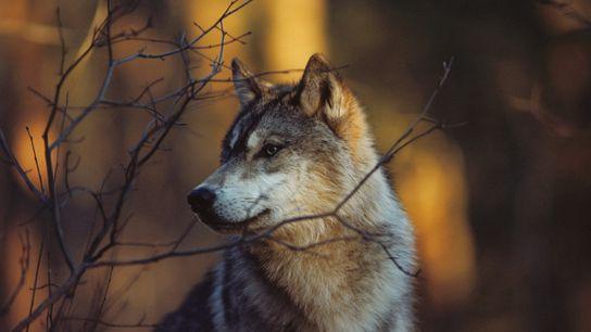 wolves-minnesota