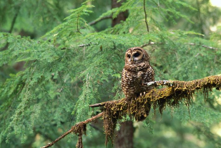 Minden_00200205 (northern spotted owl)
