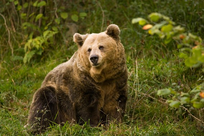 Cantabrian brown bears still roam freely in certain mountain regions of Asturias, including the upper reaches ...