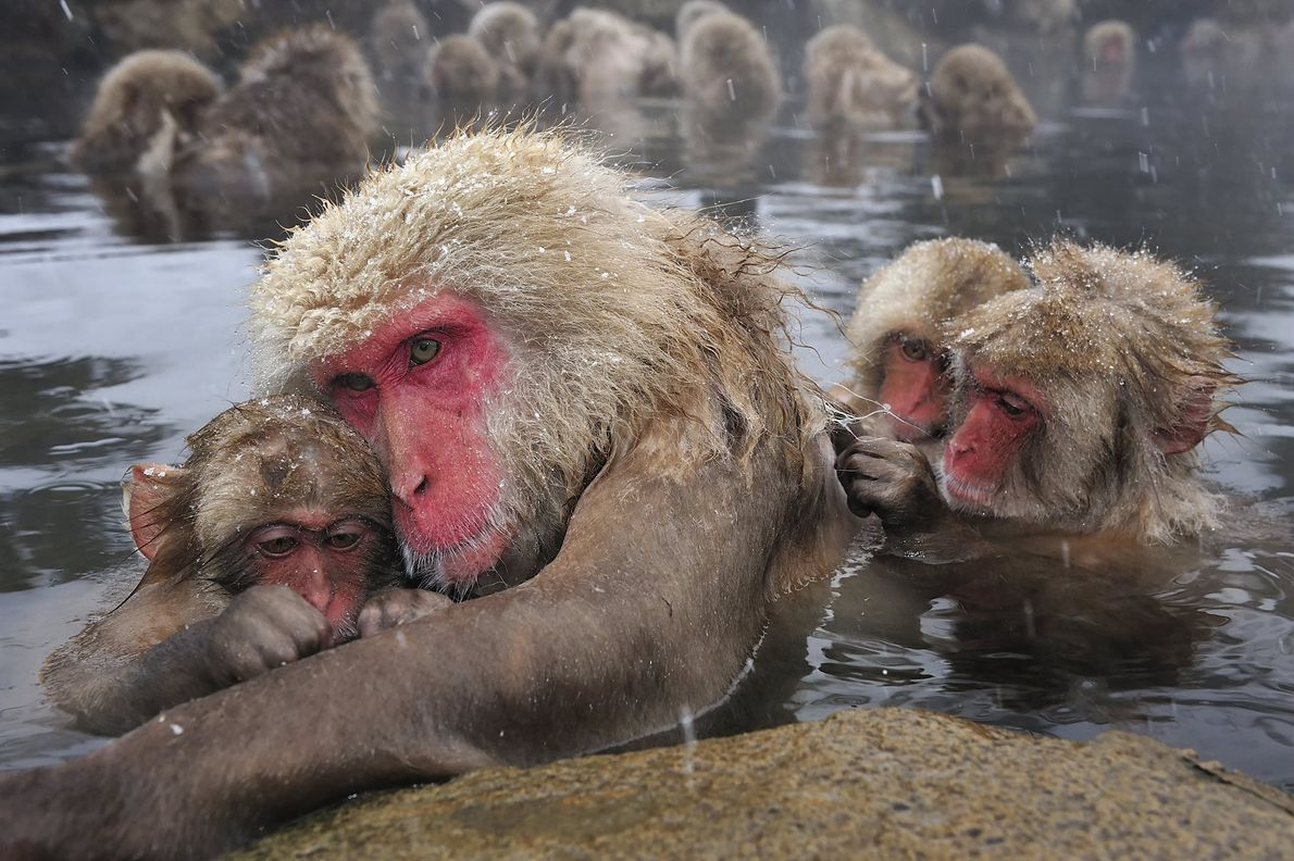 Hot spring bathing is a family affair for these Japanese macaques in Nagano, Japan. The hot water ...