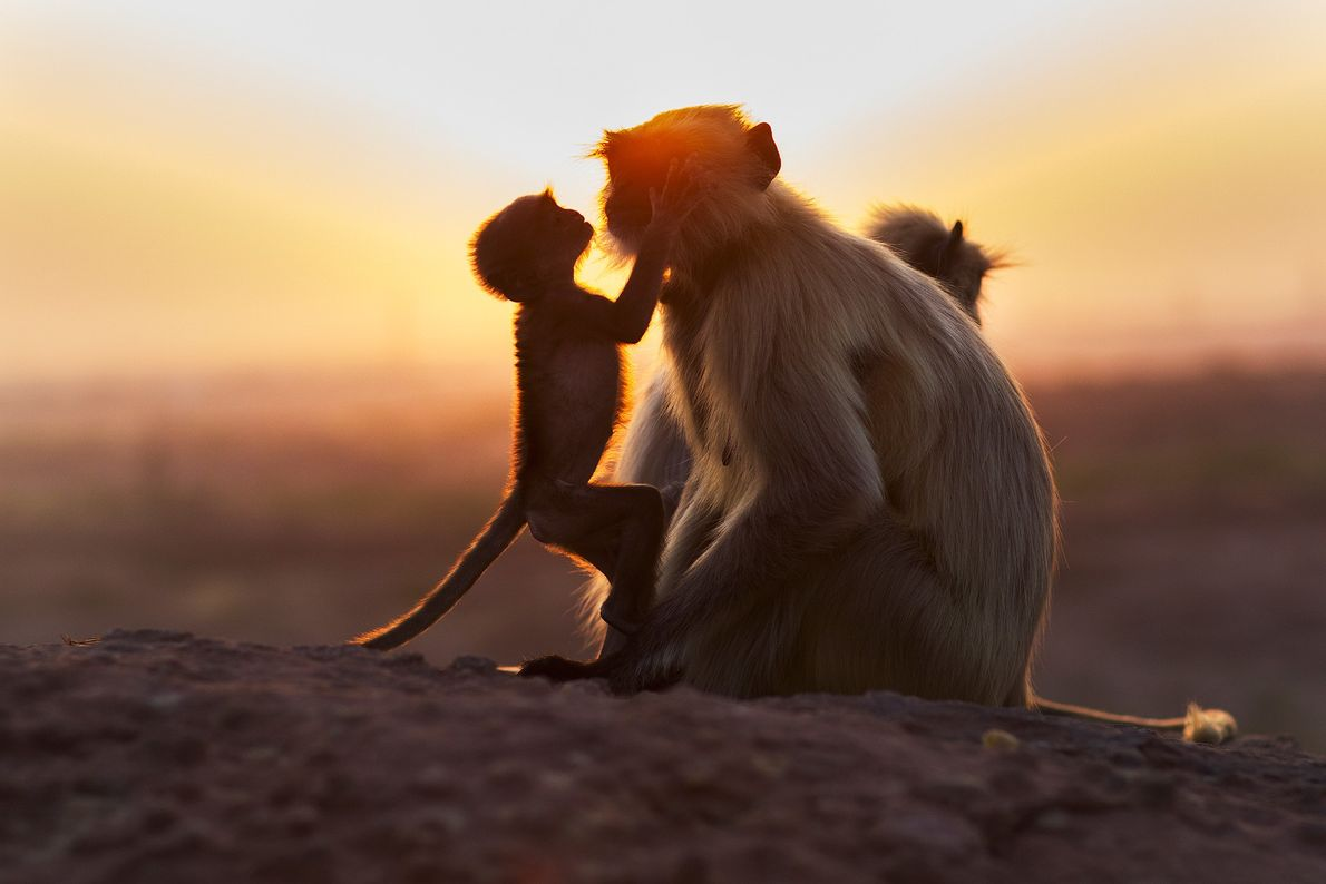 A grey langur mother and baby bask in the setting sun near Jodhpur, India. Langurs live in ...