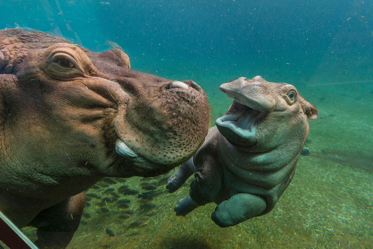 Hippo calves are at home in the water. In fact, they're often born there, though it's ...