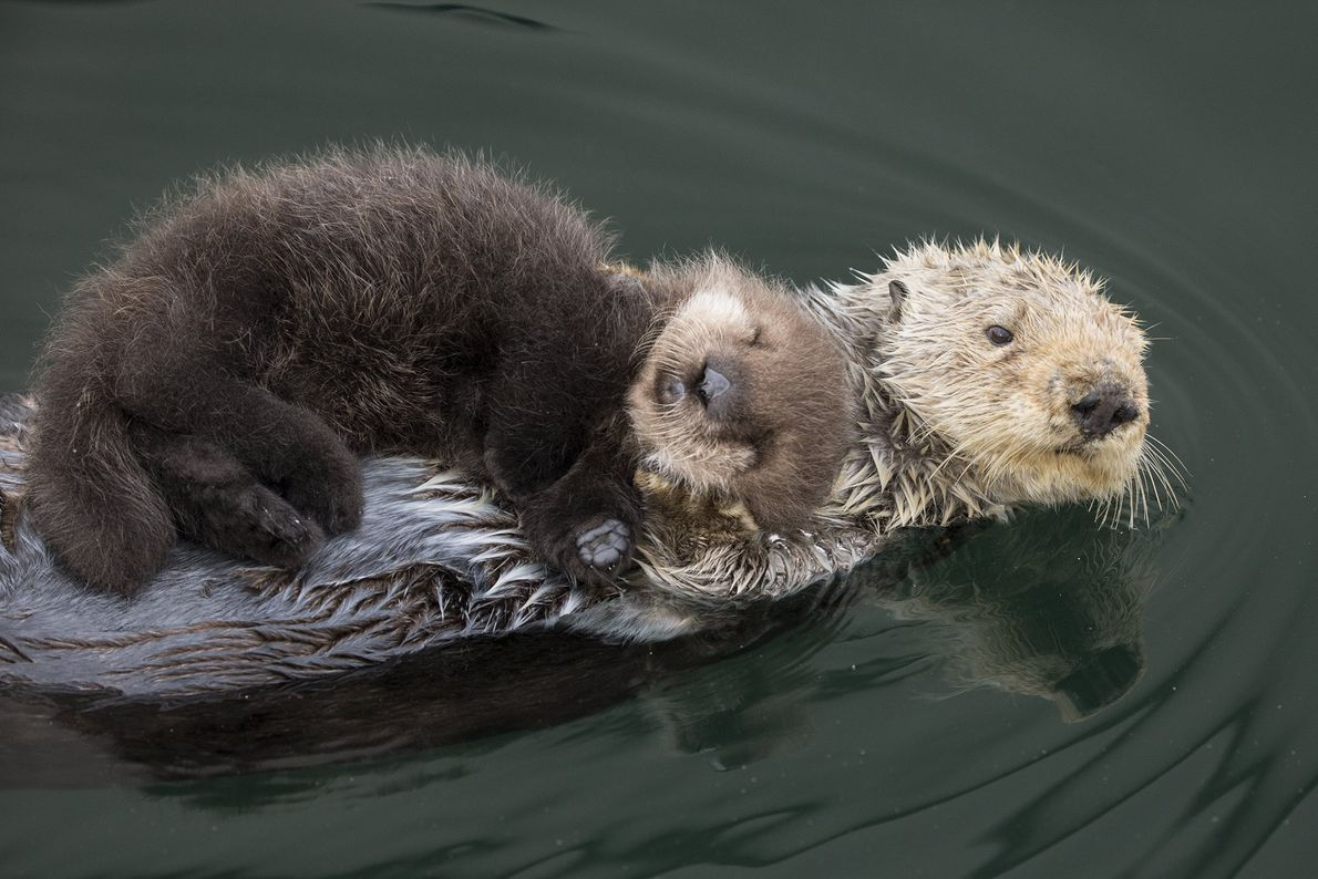 A sea otter pup, just three days old, floats atop its mother in Monterey Bay, California. ...