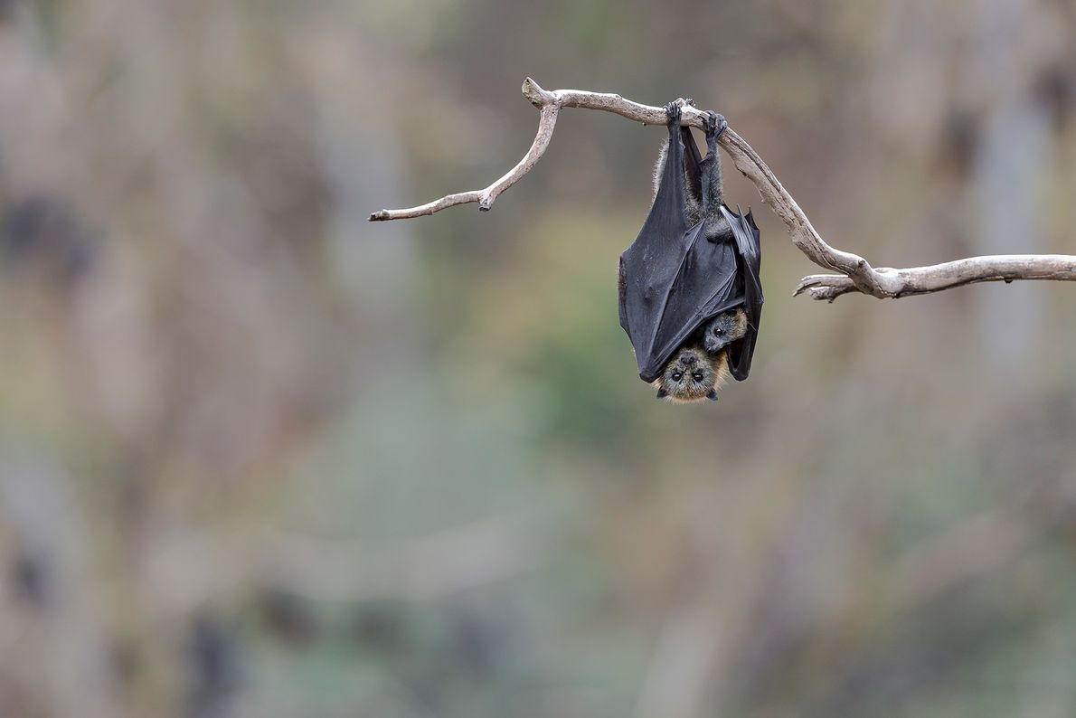 A female grey-headed flying fox hangs with her young in a riverside colony in Yarra Bend ...