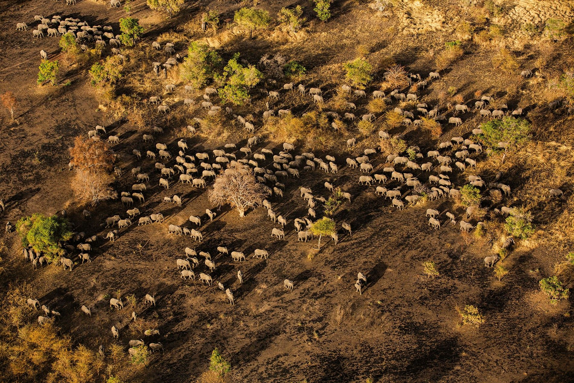 A herd of several hundred elephants heads toward a watering hole in Chad's Zakouma National Park.