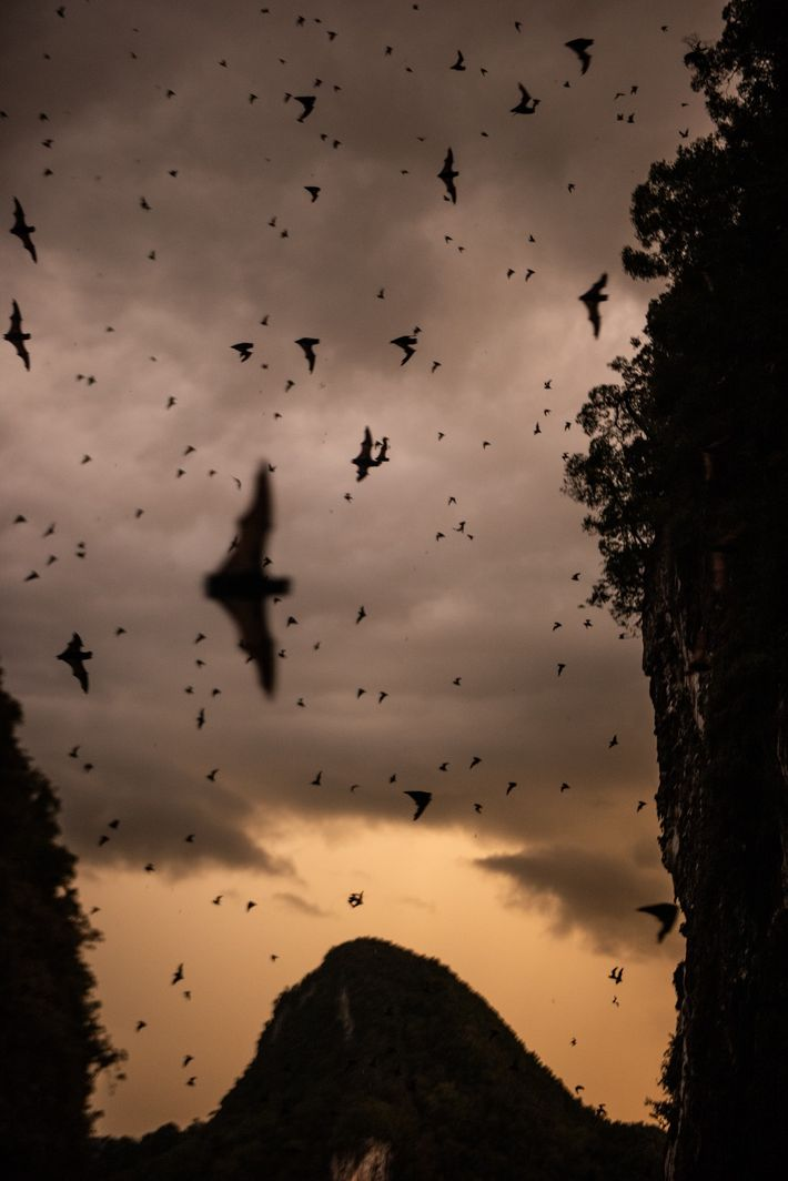Deer Cave is home to several species of bats, which usually fly out in the evenings ...
