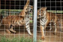 Two tigers are pictured at Greater Wynnewood Exotic Animal Park in September 2018. In August 2020, ...