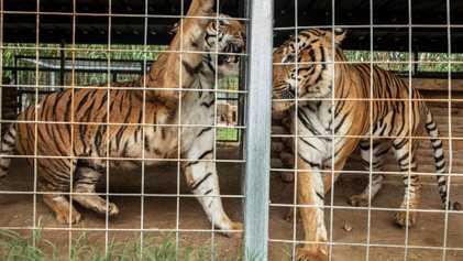 'Tiger King' zoo owner loses license, plots new animal venture