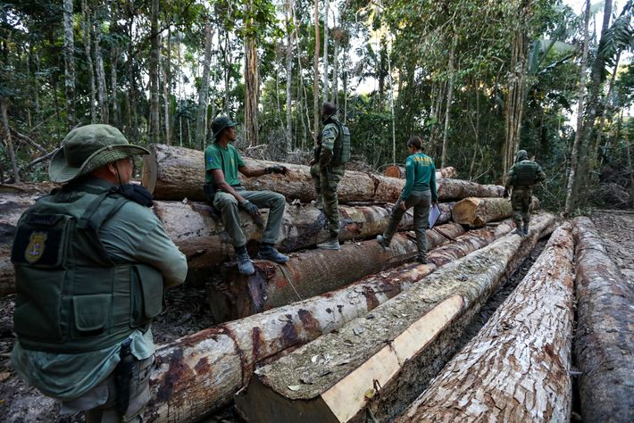 IBAMA agents discover a stash of timber on a backroad in Boa Vista de Pacarana. Officials ...