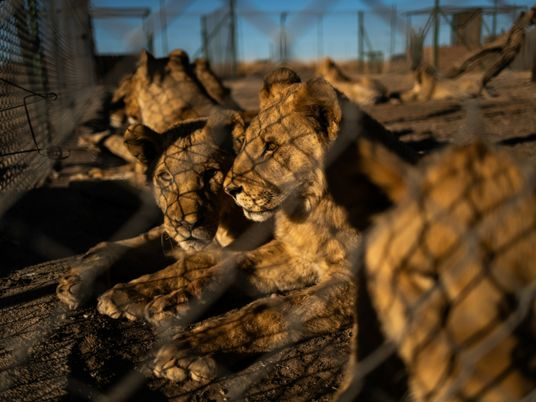 South Africa plans to end controversial captive lion industry