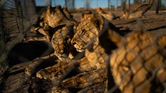 south-africa-lion-farm-01