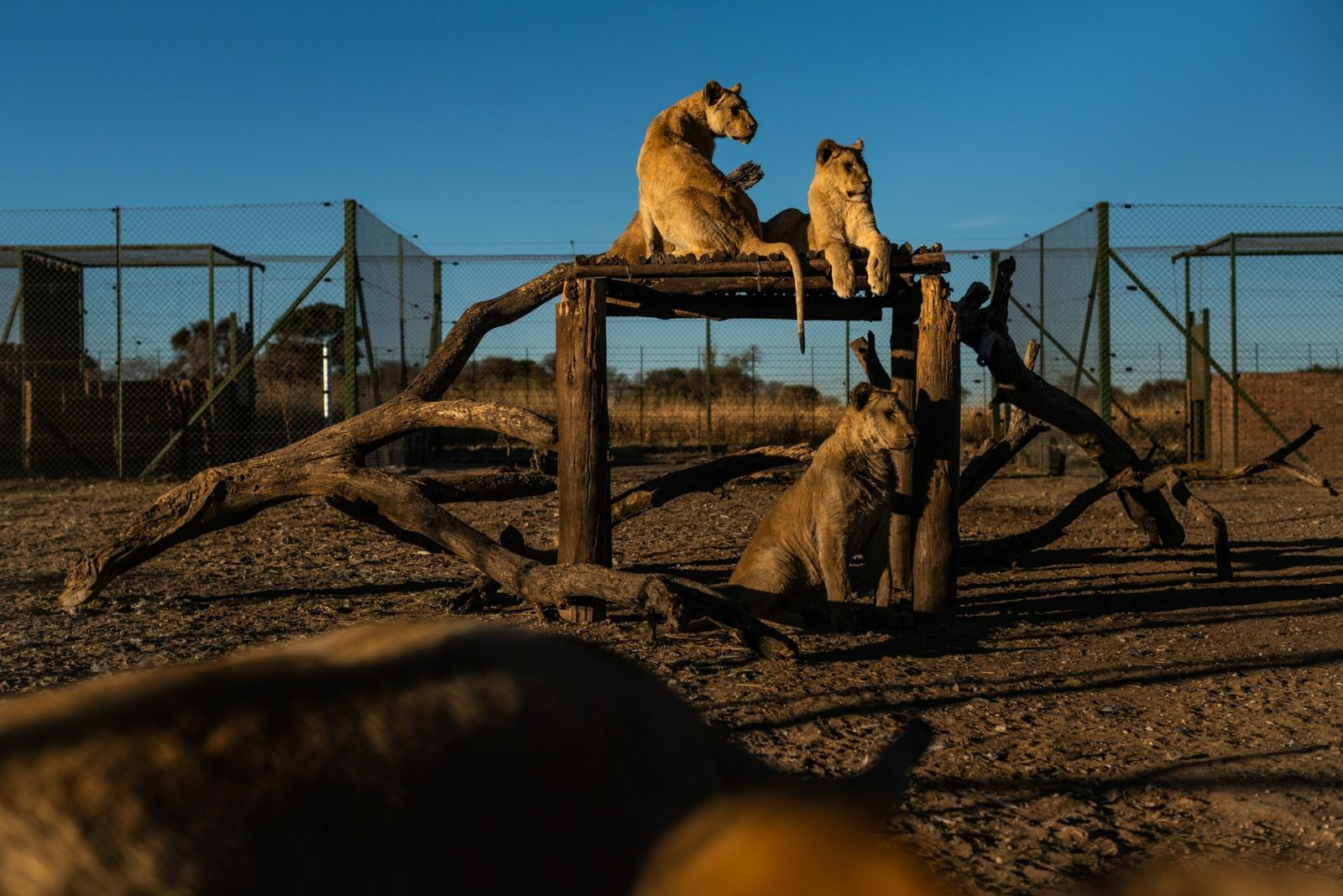 south-african-lion-farms-02