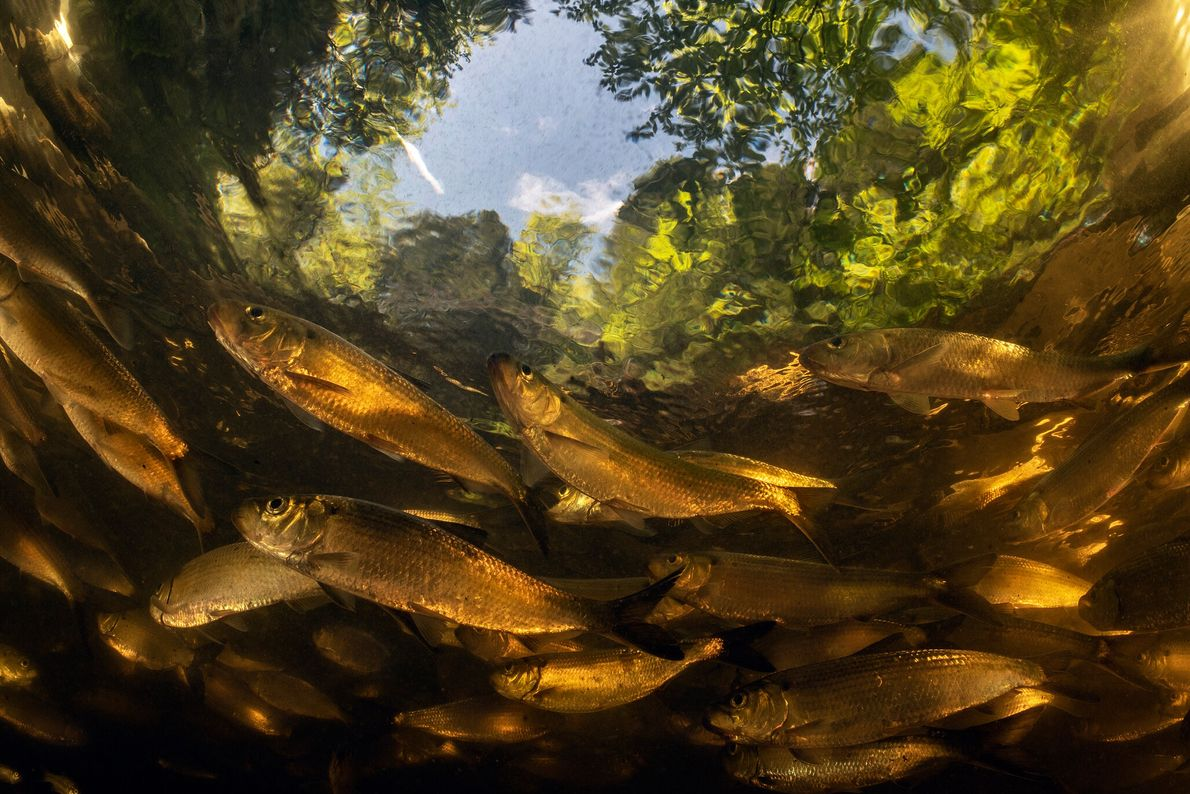Maine pioneered dam removal to restore salmon runs. Now millions of fish, among them alewives—a kind ...