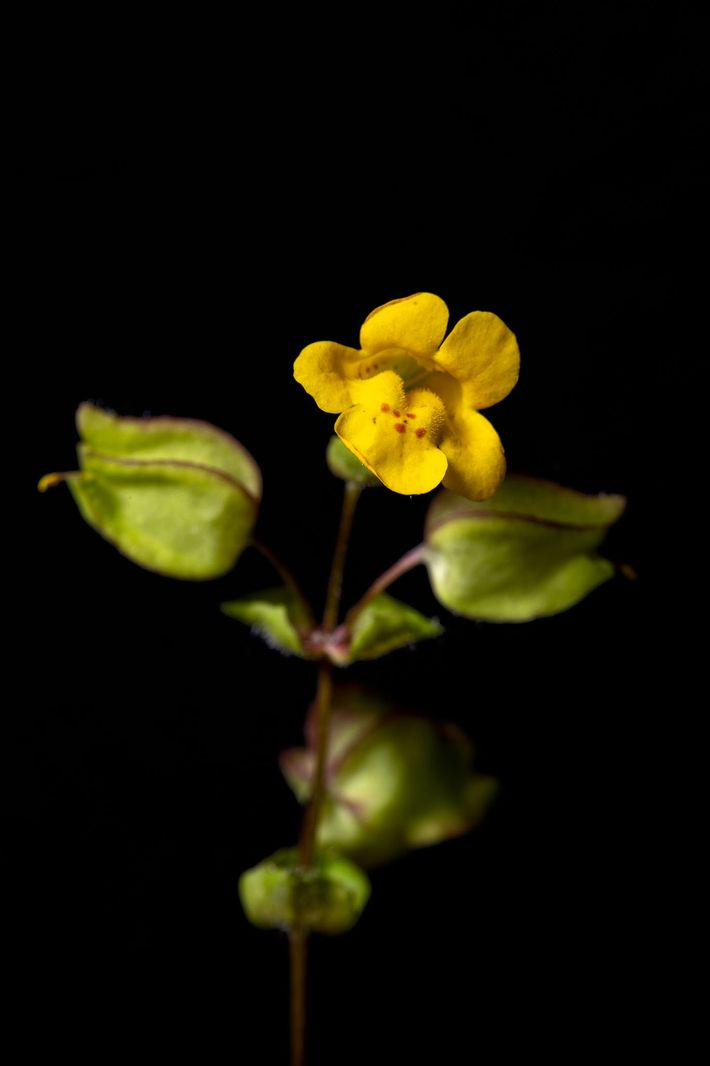 The monkeyflower species Mimulus nudatus (left) and Mimulus acutidens (right).