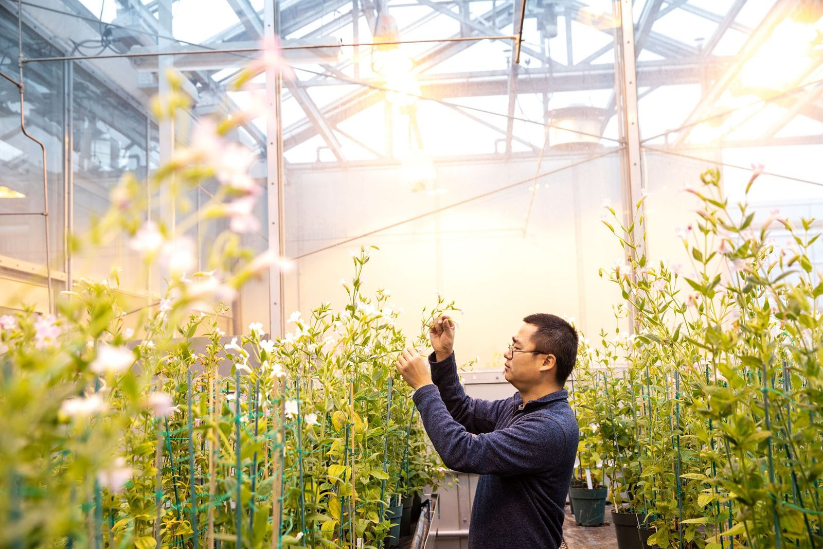 Biologist Yaowu Yuan with a roomful of Mimulus lewisii mutants in the University of Connecticut Ecology ...
