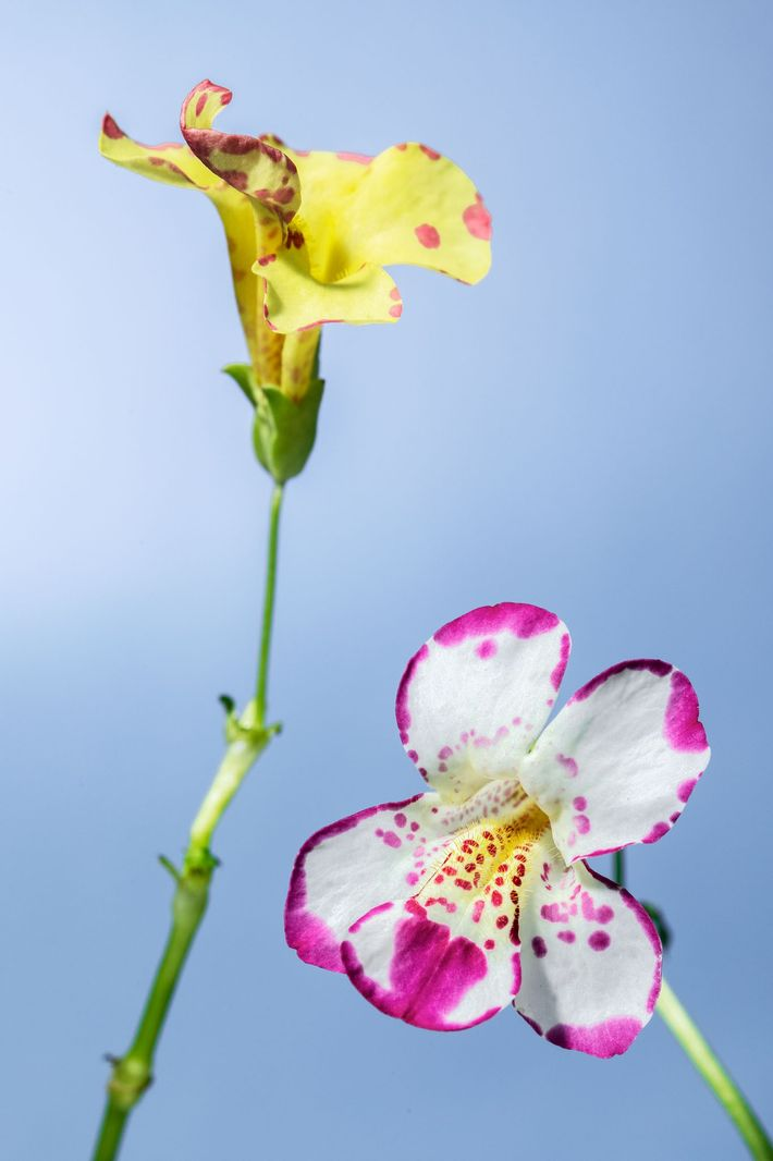 Hybrid monkeyflowers of the species Mimulus cupreus and Mimulus variegatus.