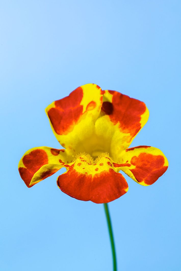 A hybrid monkeyflower of the two species Mimulus cupreus and Mimulus variegatus (left) and the species ...