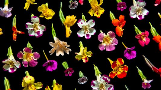 Old maths reveals new secrets about these alluring flowers