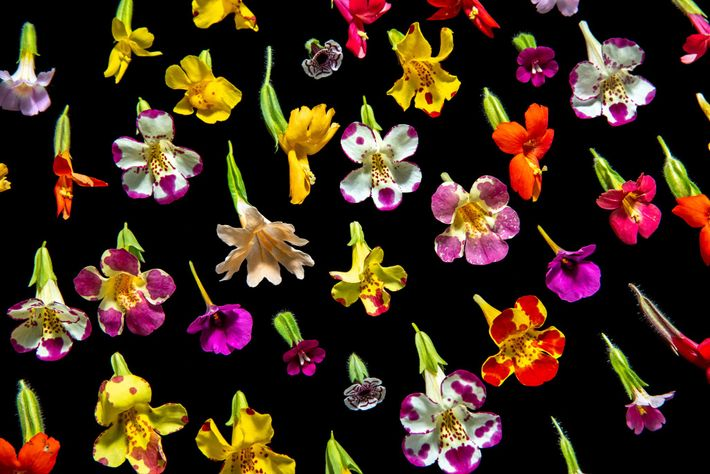 The monkey flower is so-named for the propensity to 'see' monkey faces – complete with open mouth ...