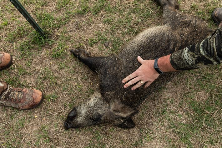 In February 2020, this was one of four wild pigs shot during a hunting expedition run ...
