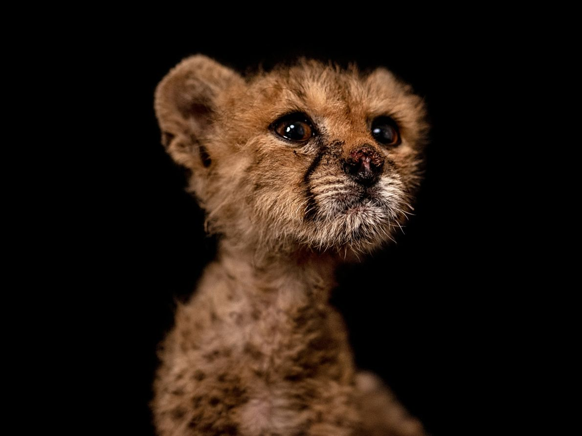 """Called """"Nose"""" in Somali, San is another of the cubs rescued in Cabdi Xayawaan's case. She ..."""