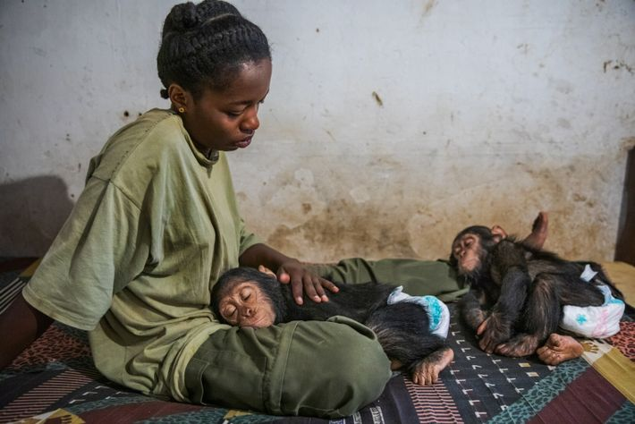 Caregiver Mireille sits with Mara and Felix as they sleep. Infant chimps, like human babies, require ...