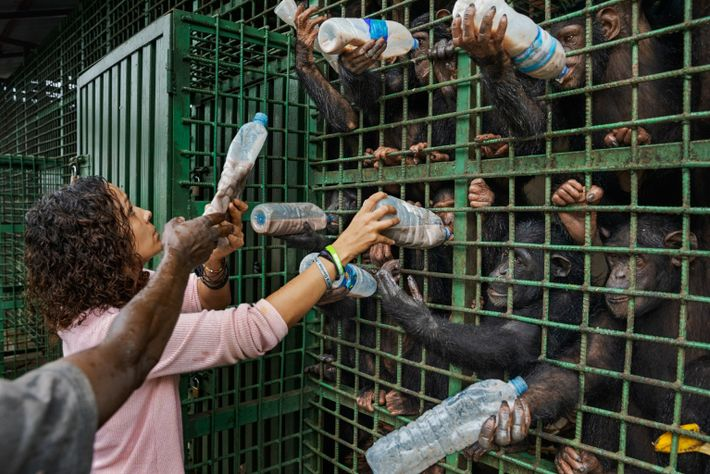Every afternoon caregivers feed the chimps a nourishing mix of corn, soy, sorghum, flour, and protein. ...