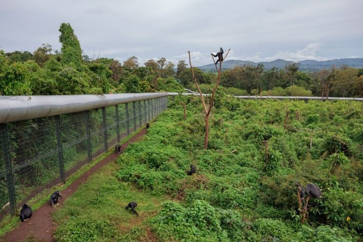 Orphaned chimps learn how to live in Lwiro's forested enclosure. They establish a pecking order, forage, ...